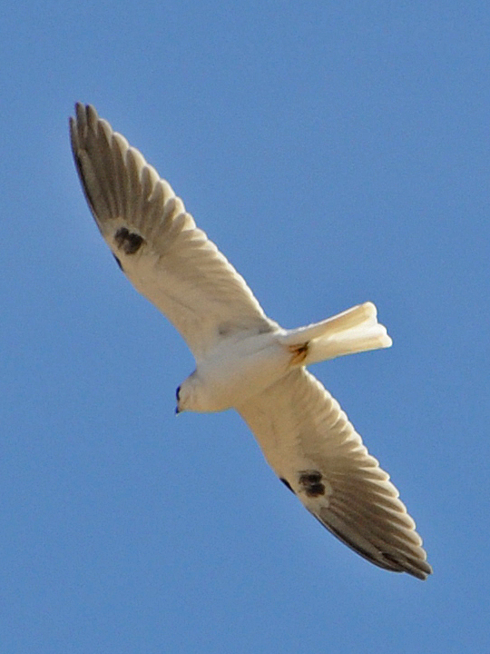 White-tailed Kite WTKI
