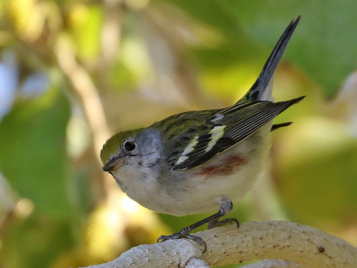 Chestnut-sided Warbler CSWA