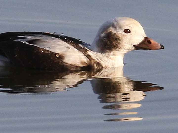 Long-tailed Duck LTDU