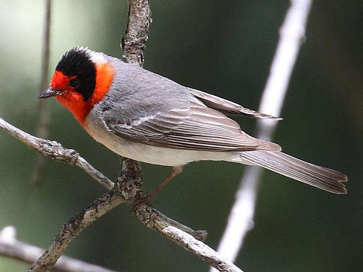 Red-faced Warbler RFWA