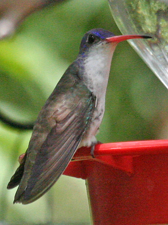 Violet-crowned Hummingbird VCHU