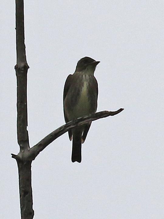 Olive-sided Flycatcher OSFL