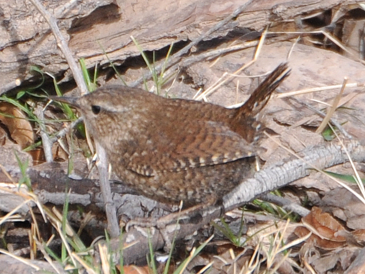 Winter Wren WIWR