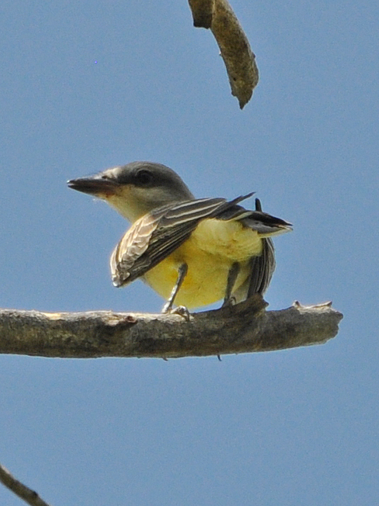 Tropical Kingbird TRKI