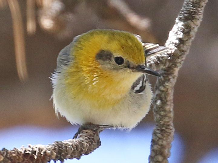 Olive Warbler OLWA