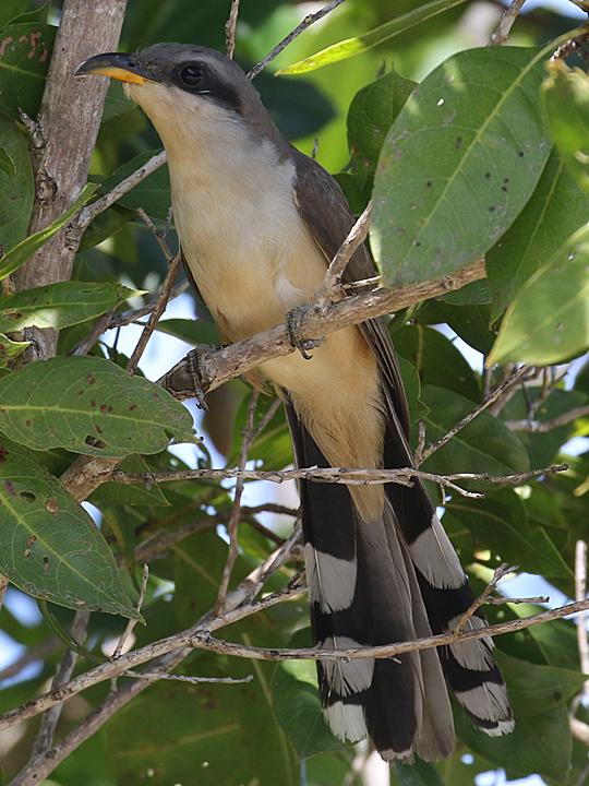 Mangrove Cuckoo MACU