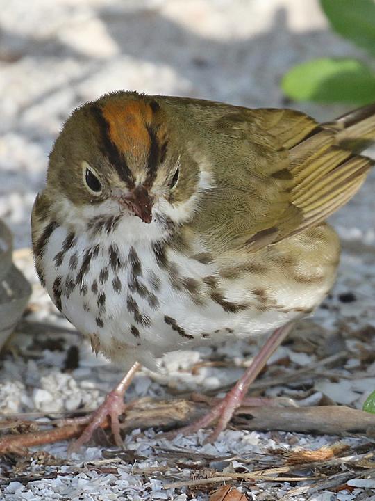 Ovenbird OVEN