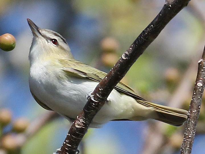 Red-eyed Vireo REVI