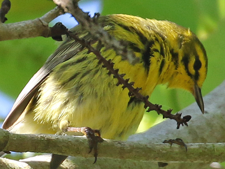 Prairie Warbler PRAW