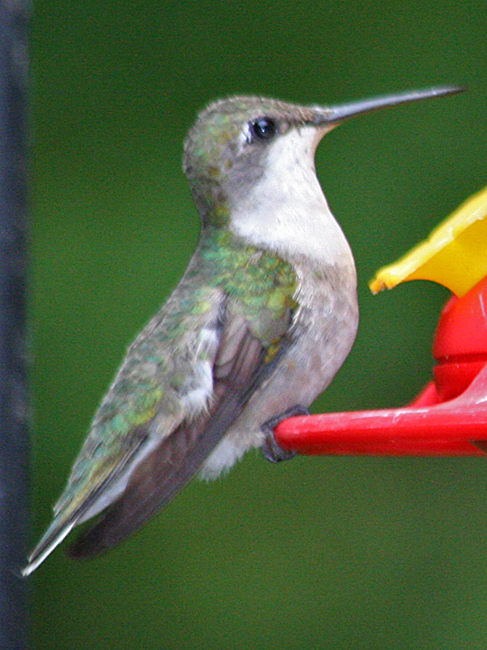 Ruby-throated Hummingbird RTHU