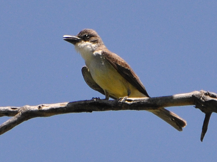 Thick-billed Kingbird TBKI