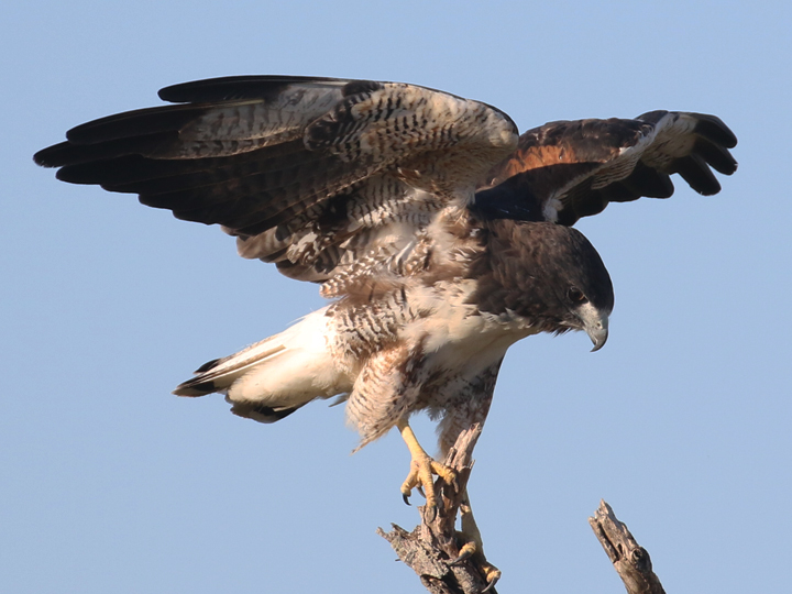 White-tailed Hawk WTHA