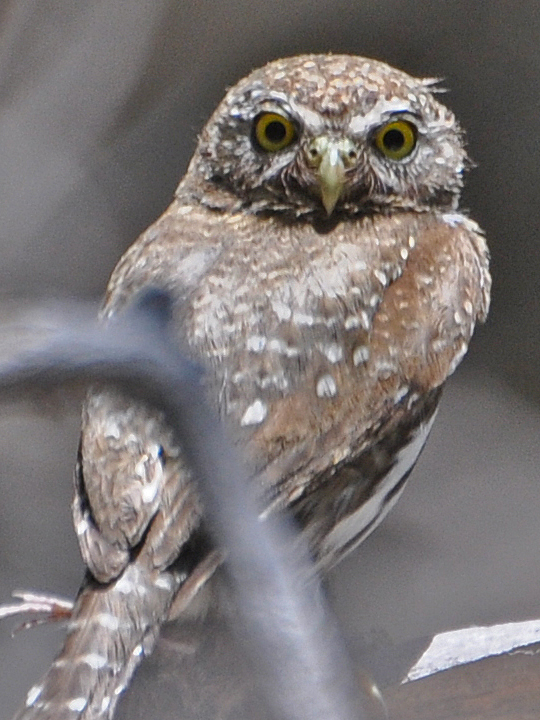 Northern Pygmy-Owl NOPO