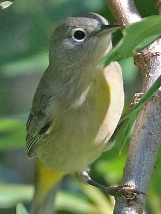 Virginia's Warbler VIWA
