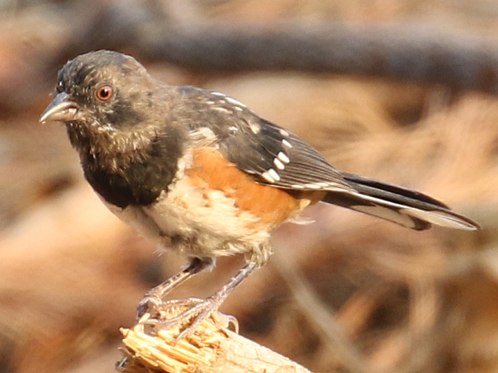 Spotted Towhee SPTO