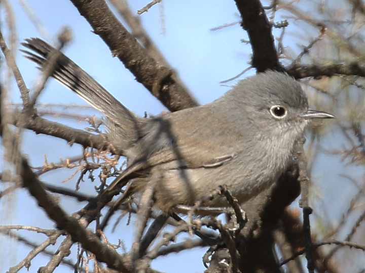 California Gnatcatcher CAGN