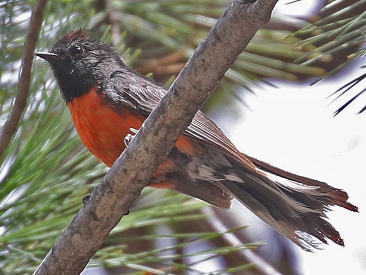 Slate-throated Redstart STRE