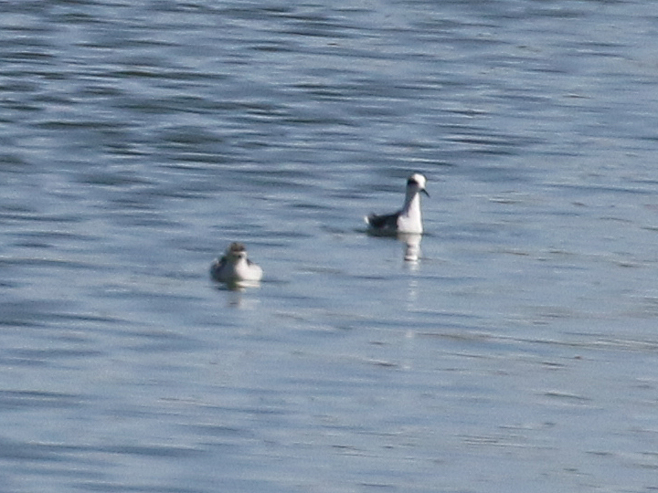 Red-necked Phalarope RNPH