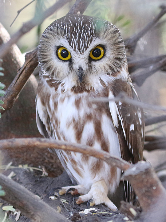 Northern Saw-whet Owl NSWO