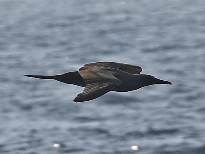 Brown Booby BRBO
