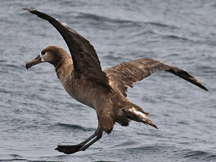 Black-footed Albatross BFAL