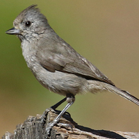 Oak Titmouse OATI