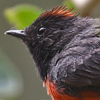 Slate-throated Redstart STRE