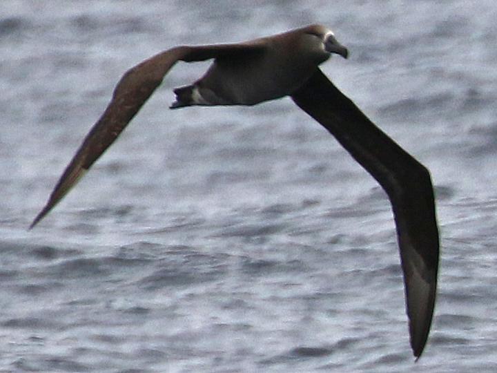 Black-footed Albatross BFAL