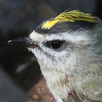 Golden-crowned Kinglet GCKI