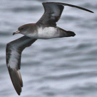 Pink-footed Shearwater PFSH
