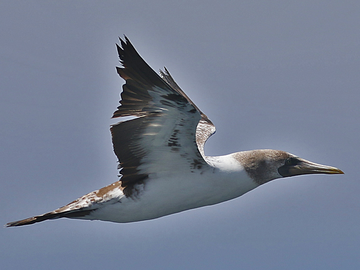 Masked Booby MABO