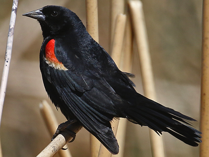Tricolored Blackbird TRBL