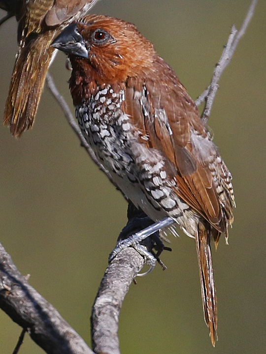 Scaly-breasted Munia SBMU