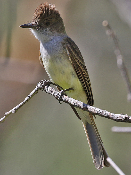 Dusky-capped Flycatcher DCFL
