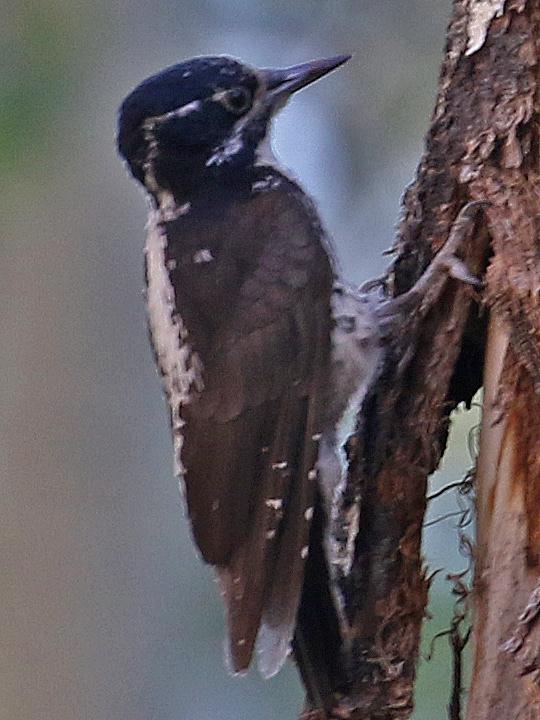 American Three-toed Woodpeccker ATTW