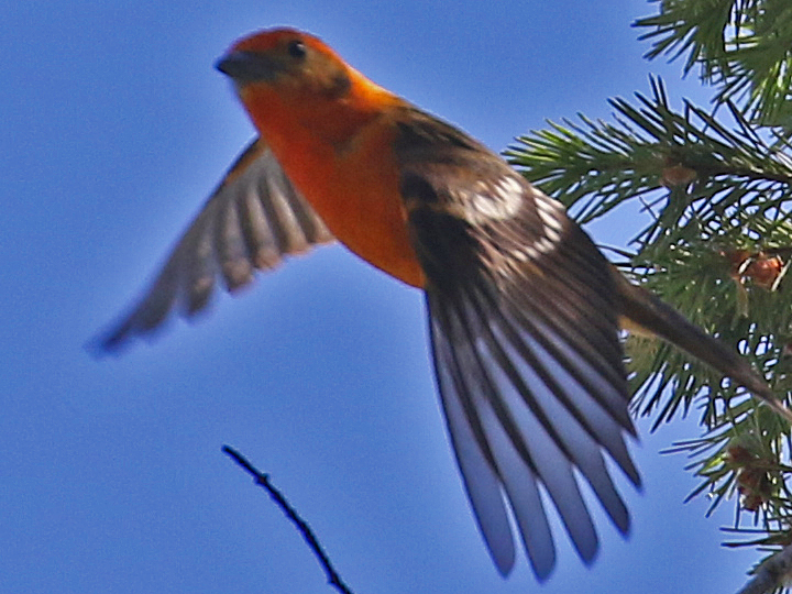 Flame-colored Tanager FCTA