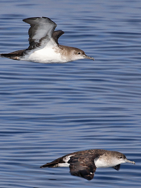 Black-vented Shearwater BVSH