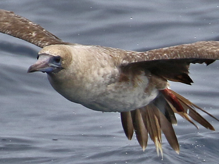 Red-footed Booby RFBO