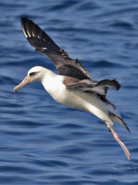 Laysan Albatross LAAL