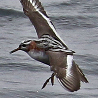 Red Phalarope REPH
