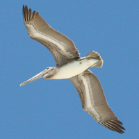 Brown Pelican BRPE