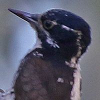 American Three-toed Woodpecker ATTW