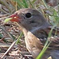 Field Sparrow FISP