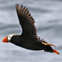 Tufted Puffin TUPU
