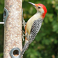 Red-bellied Woodpecker RBWO