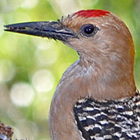 Gila Woodpecker GIWO male