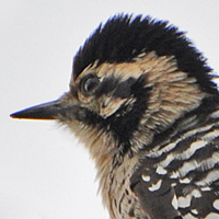 Ladder-backed Woodpecker LBWO female