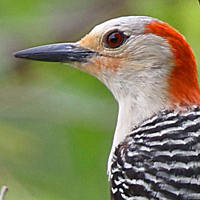Red-bellied Woodpecker RBWO female