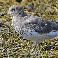 Surfbird SURF