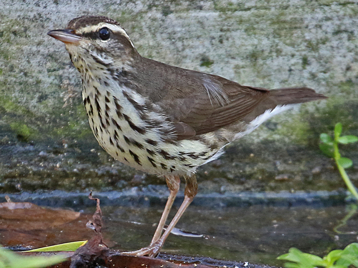 Northern Waterthrush NOWA DR